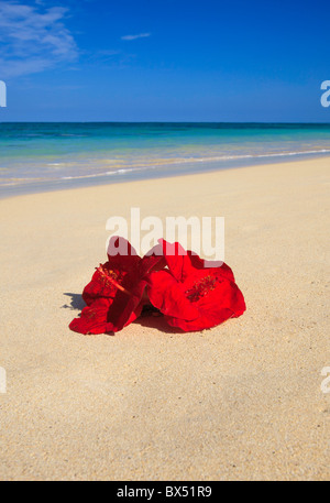 two red hibiscus flowers on the sand by the ocean's edge in hawaii - Stock Photo