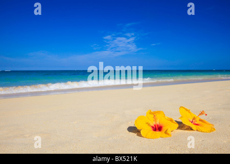 two yellow hibiscus lie on the sand of a Hawaii beach near the ocean - Stock Photo