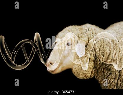 Cloned sheep, conceptual image - Stock Photo