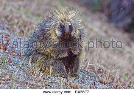 Porcupine posed in a sitting position for his picture - Stock Photo
