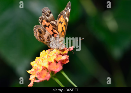 A Painted Lady butterfly, Vanessa cardui, feeding on Lantana camara. Oklahoma, USA. - Stock Photo
