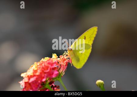 Clouded Sulphur butterfly, Colias philodice, feeding on Lantana camera. Oklahoma, USA. - Stock Photo