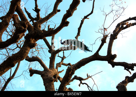 A Peacock sitting on the branch of a dry tree - Stock Photo