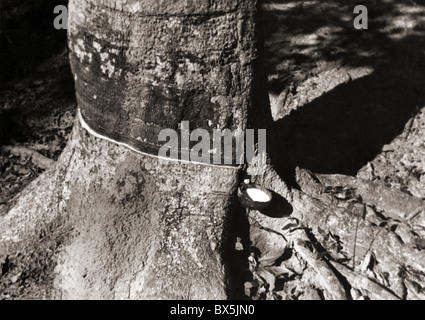 agriculture / farming, harvest, latex being collected from a tapped rubber tree, Borneo, December 1936, Additional - Stock Photo