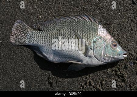 Tilapia Fish Caught By Local Fishermen On Lake Chamo, Ethiopia - Stock Photo