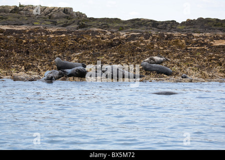 A colony of Atlantic Grey Gray Seals Halichoerus grypus on the shoreline of the Farne Islands in North East England - Stock Photo