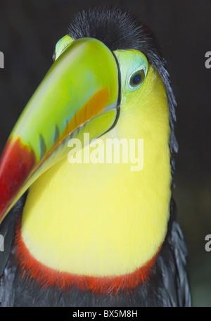 Keel-billed toucan (Ramphastos sulfuratus), Costa Rica, Central America - Stock Photo