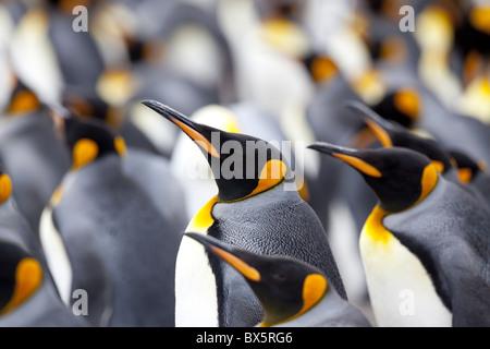 King penguin colony (Aptenodytes patagonicus), Gold Harbour, South Georgia, Antarctic, Polar Regions - Stock Photo