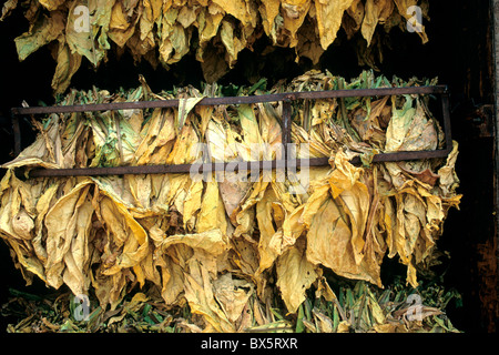 Tobacco 'NC71' leaves drying in bulk barn, - Stock Photo