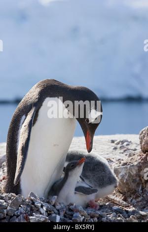 Gentoo penguin (Pygoscelis papua papua) with chicks, Port Lockroy, Antarctic Peninsula, Antarctica, Polar Regions - Stock Photo