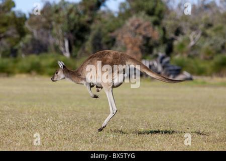 Western gray kangaroo (Macropus fuliginosus) with joey in pouch, Yanchep National Park, West Australia, Australia, - Stock Photo