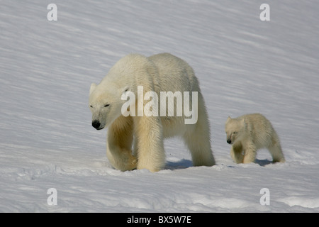 Female Polar Bear (Ursus maritimus) walking in snow followed by [cub of the year] in perfect symmetry, Svalbard, - Stock Photo