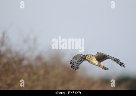 Hen Harrier, circus cyaneus, 'ringtail' hunting winter hedgerow, Norfolk, UK, November, - Stock Photo