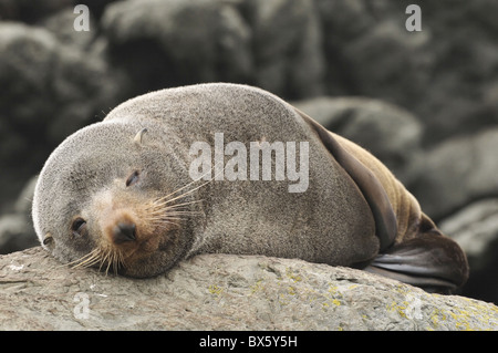 Australian Fur Seal (Arctocephalus forsteri), near Kaikoura, Canterbury, South Island, New Zealand, Pacific - Stock Photo