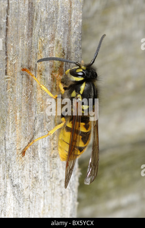 Common wasp, vespula vulgaris, collecting nest material from wooden fence, Norfolk, UK, October - Stock Photo