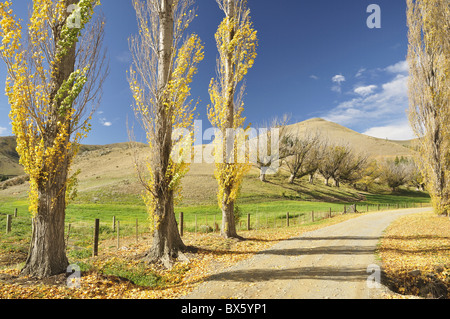 Poplar alley, Omarama Valley, Canterbury, South Island, New Zealand, Pacific - Stock Photo