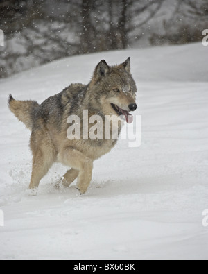 Gray Wolf (Canis lupus) running in the snow in captivity, near Bozeman, Montana, United States of America, North - Stock Photo