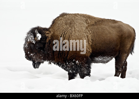 Bison (Bison bison) in snow, Yellowstone National Park, Wyoming, United States of America, North America - Stock Photo