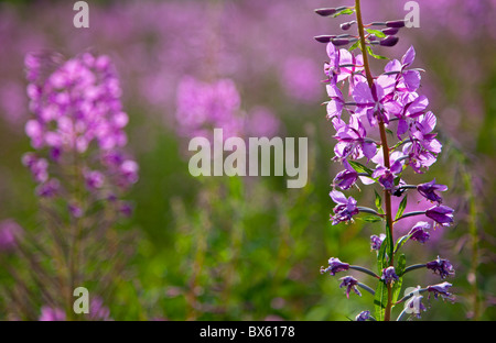 Fireweed ( Epilobium angustifolium ) flowering - Stock Photo