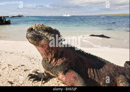 Marine iguana (Amblyrhynchus cristatus), Suarez Point, Isla Espanola, Galapagos Islands, UNESCO World Heritage Site, - Stock Photo