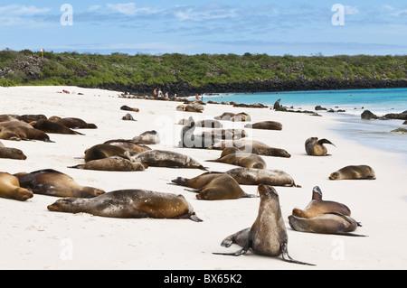 Galapagos sea lion (Zalophus wollebaeki), Gardner Bay, Isla Espanola, Galapagos Islands, UNESCO World Heritage Site, - Stock Photo