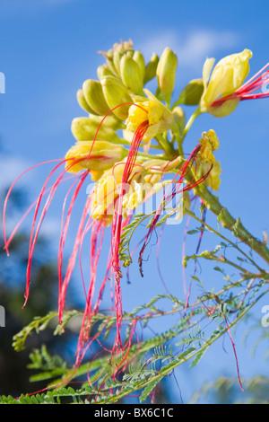 Bird of Paradise flower or Caesalpinia gillesii - Stock Photo