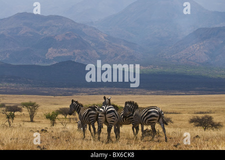Zebras at the Nechisar National Park, Ethiopia, Africa - Stock Photo