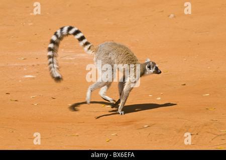 Ring-tailed Lemur (Lemur catta), Berenty Private Reserve, Madagascar, Africa - Stock Photo