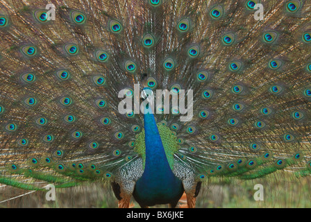 Wild Male Peacock (Pavo cristatus) displaying, Sri Lanka - Stock Photo
