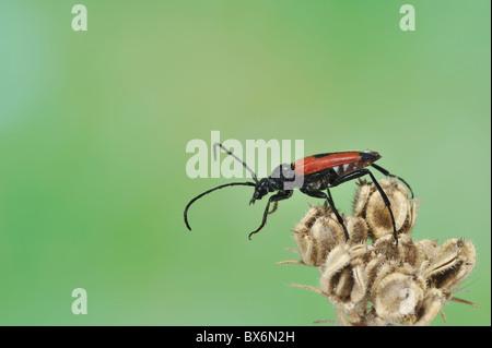 Longhorn beetle (Stictoleptura cordigera - Leptura cordigera - Corymbia cordigera - Brachyleptura cordigera) male - Stock Photo