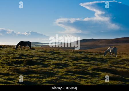 Wild Ponies on Bodmin Moor Cornwall UK - Stock Photo