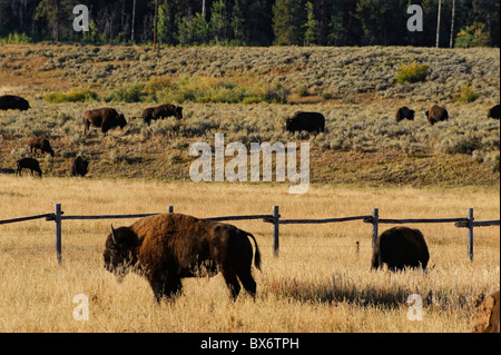 Bison (Bison Bison), Grand Teton National Park, Wyoming, USA - Stock Photo