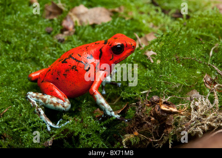 Harlequin poison dart frog, Oophaga histrionica, Ecuador (formerly Dendrobates histionicus) - Stock Photo