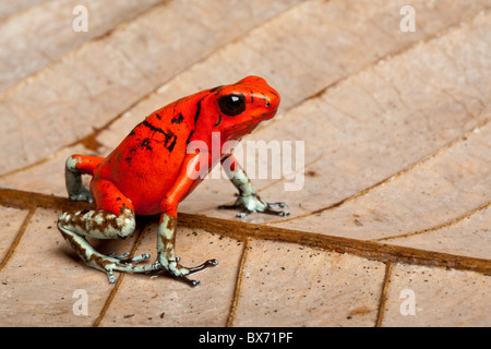 Harlequin poison dart frog, Oophaga histionica, Ecuador (formerly Dendrobates histionicus) - Stock Photo