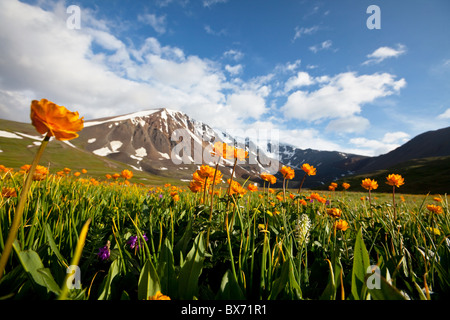 Flowers meadow in Altai mountains, Russian federation - Stock Photo