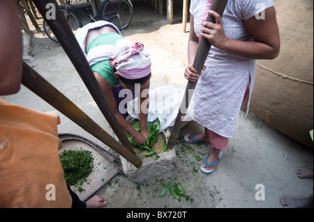 Assamese tribal village women, mother and daughters, crushing herb leaves in domestic stone mill, Majuli Island, - Stock Photo