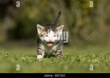 Katze, Kaetzchen miauend, lachend auf Wiese, Cat, kitten laughing, miaowing on a meadow - Stock Photo