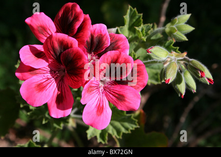 Pink Flowering Geranium Taken In Addis Ababa, Ethiopia - Stock Photo