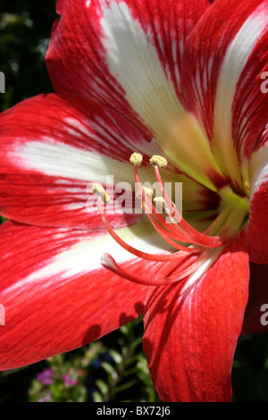 Amaryllis Minerva Flower Taken In Addis Ababa, Ethiopia - Stock Photo