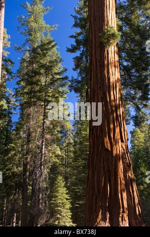 USA, California, Yosemite National Park, Mariposa Grove, Giant Sequoias - Stock Photo