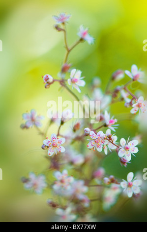 The delicate little flowers of Saxifraga urbium - London Pride - Stock Photo