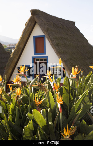 Bird of Paradise flowers bloom in front of a traditional thatched Palheiro A-frame house the town of Santana, Madeira, - Stock Photo