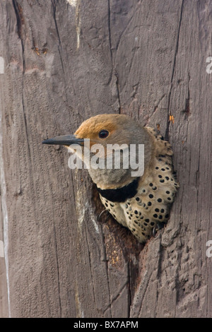 Northern Flicker by Nesting Hole - Stock Photo