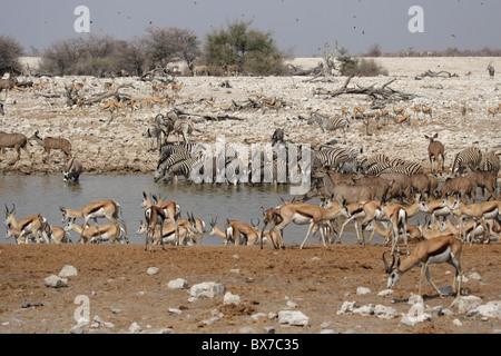 Animals drinking at the waterhole of Okaukuejo in the Etosha National Park, Namibia - Stock Photo