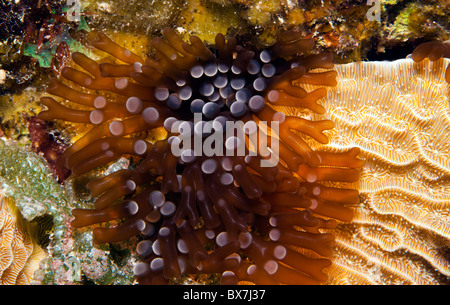 Coral reef at night with Branching anemone Lebrunia danae extended - Stock Photo