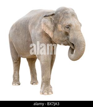 Asian elephant female telling secret isolated on white background - Stock Photo
