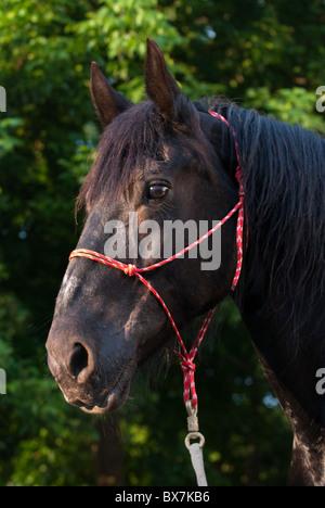 Percheron draft horse head shot in late afternoon sunlight, traditional rope halter, Pennsylvania, USA. - Stock Photo