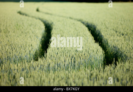 Field filled with growing  bread wheat ( Triticum aestivum ) , Finland - Stock Photo