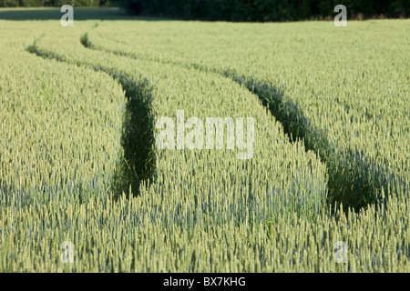 Tractor tracks on field filled with bread wheat ( Triticum aestivum ) , Finland - Stock Photo