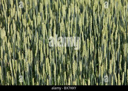 Closeup of growing bread wheat ears ( Triticum aestivum ) - Stock Photo